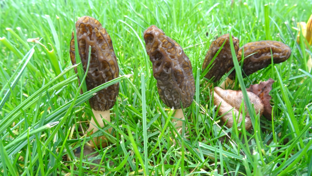 Morchella costata